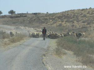 צועד לו בכביש: רועה