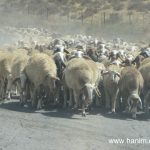 עדר כבשים ליד חאן בחווה בצפון הנגב